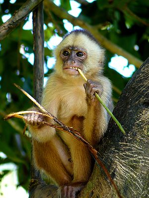 A young female of White-fronted Capuchi Monkey...
